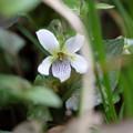 写真: 季節の花(タカオスミレ)