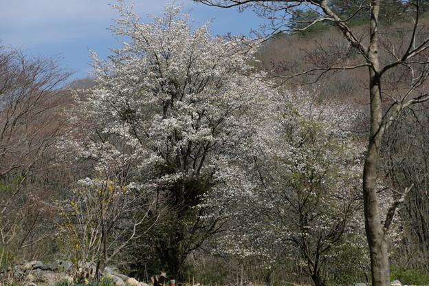 Photos: 名残りの桜