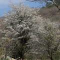 写真: 名残りの桜