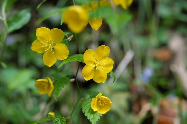 写真: 季節の花(ヤマブキ)