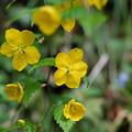 季節の花(ヤマブキ)