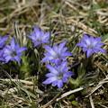写真: 季節の花~ハルリンドウ