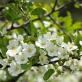 写真: 初夏の花(ズミ)