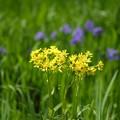 写真: 初夏の花(サワオグルマ)