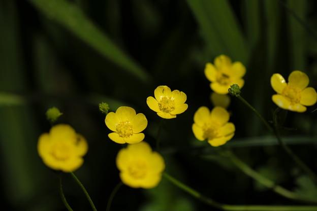 写真: 初夏の花(ウマノアシガタ)