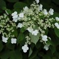 写真: 夏に咲く(ツルアジサイ)