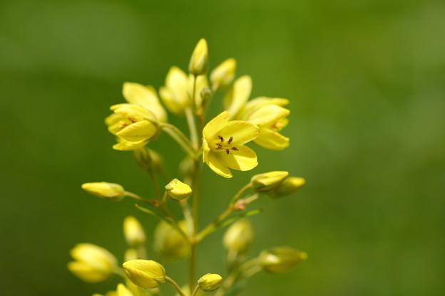 写真: 湿原の花(クサレダマ)