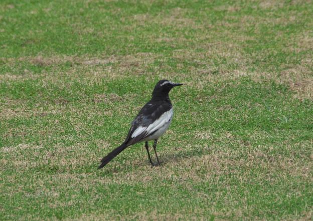 写真: 身近な野鳥達(セグロセキレイ)