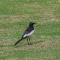 Photos: 身近な野鳥達(セグロセキレイ)
