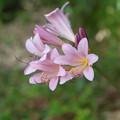 季節の花(ナツズイセン)