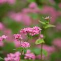 写真: 高嶺ルビーが咲く