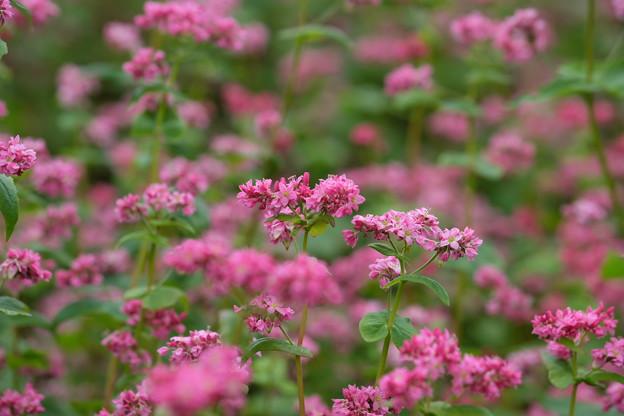 蕎麦の花の季節