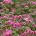 写真: 蕎麦の花の季節