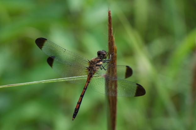 Photos: 蜻蛉の季節(ノシメトンボ)