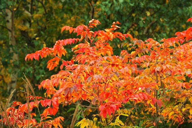 秋色に染まる(ヤマウルシ)