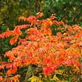 写真: 秋色に染まる(ヤマウルシ)
