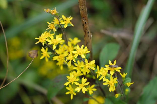 季節の花(アキノキリンソウ)