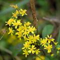 写真: 季節の花(アキノキリンソウ)