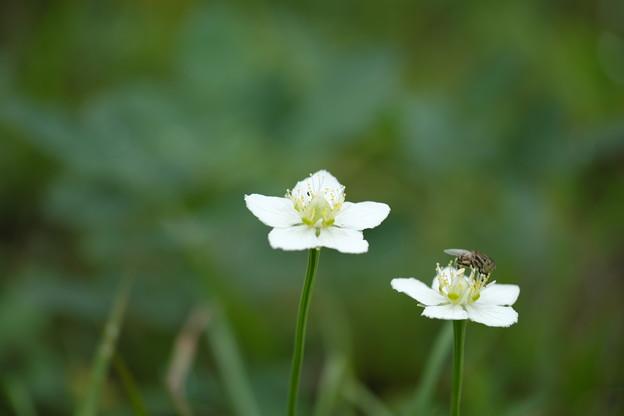 季節の花(ウメバチソウ)