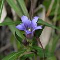 季節の花(リンドウ)