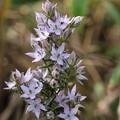 写真: 季節の花(ムラサキセンブリ)