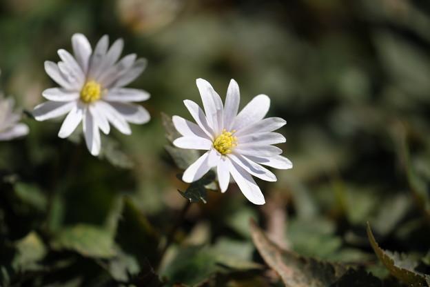 春の訪れ(ユキワリイチゲ)