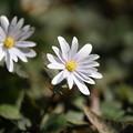 Photos: 春の訪れ(ユキワリイチゲ)
