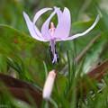 カタクリの花咲く