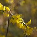 Photos: 春色(レンギョウ)