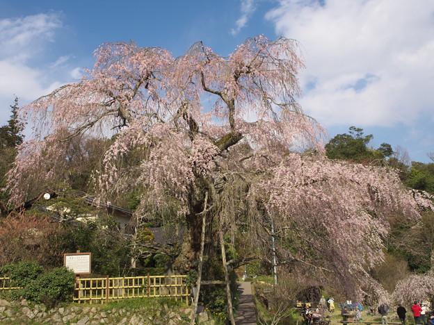 桜の季節(神原の枝垂桜)(1)