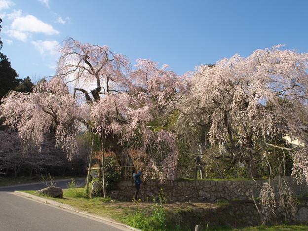 桜の季節(神原の枝垂桜)(2)