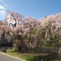 Photos: 桜の季節(神原の枝垂桜)(2)