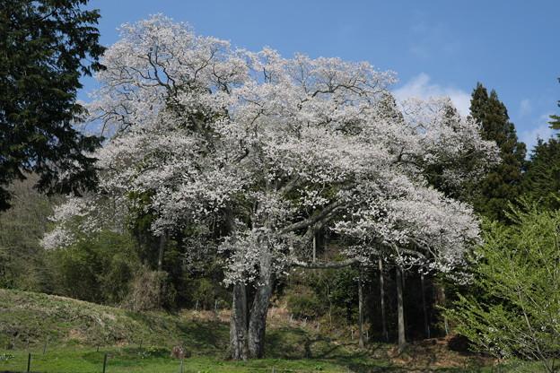 森湯谷のエドヒガン(1)