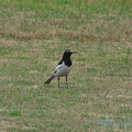 賑やかな野鳥(セグロセキレイ)