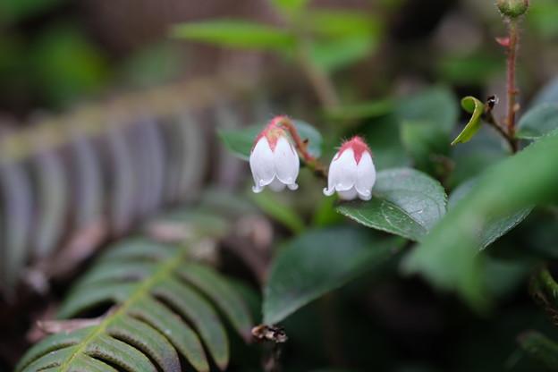 初夏に咲く山野草(アカモノ)