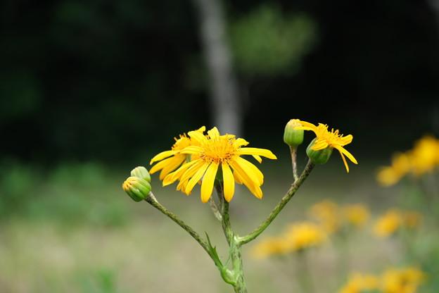 初夏の湿原に咲く(ハンカイソウ)