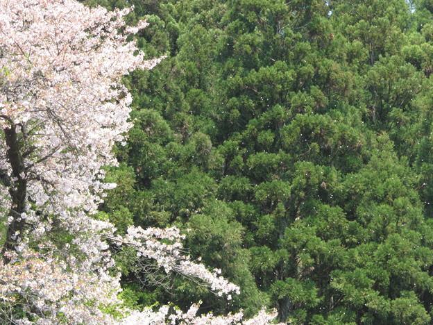 津川駅の桜