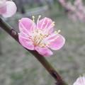 Photos: DSCF2535一重寒紅a