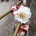 写真: DSCF2122筋入り春日野臥竜梅