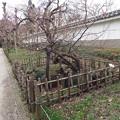 写真: DSCF2123筋入り春日野臥竜梅