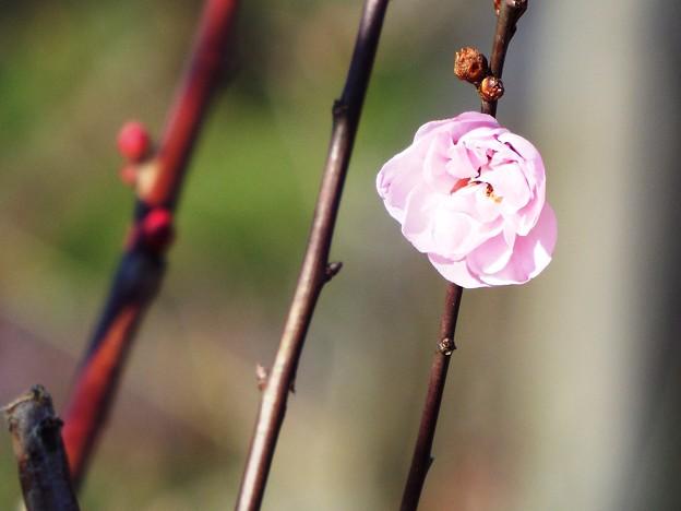 DSCF3233開運記念植樹赤花枝jch