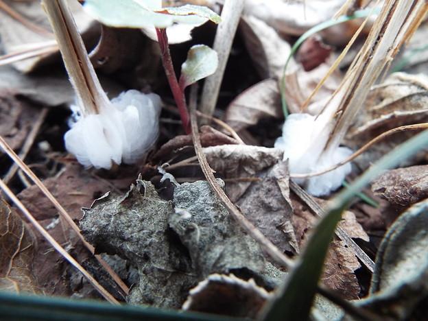 シモバシラ鉢植え1 1802180001