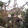 写真: 紅冬至@庭1802260013