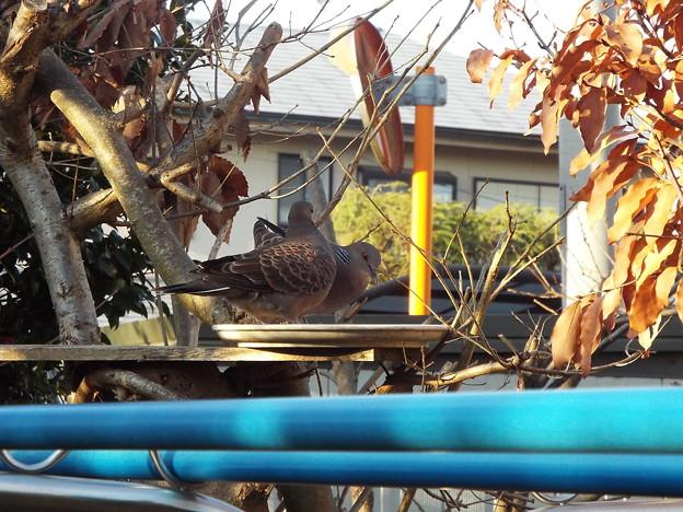 キジバト幼鳥か1803070005