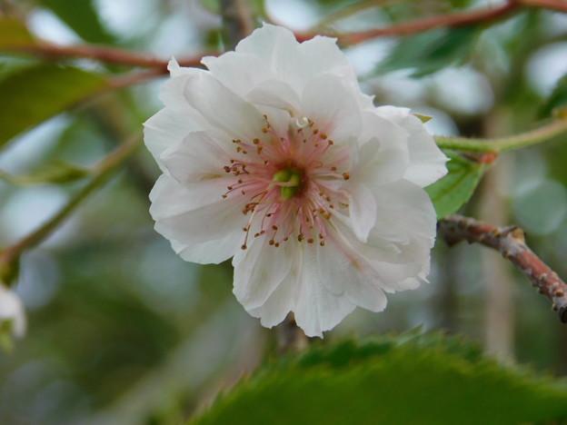 十月桜DSCN2527