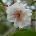 写真: 十月桜DSCN2527