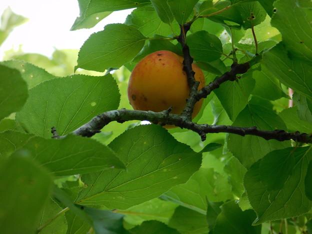 DSCN3661杏