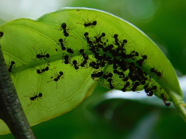 DSCN3674蟻とアブラムシ