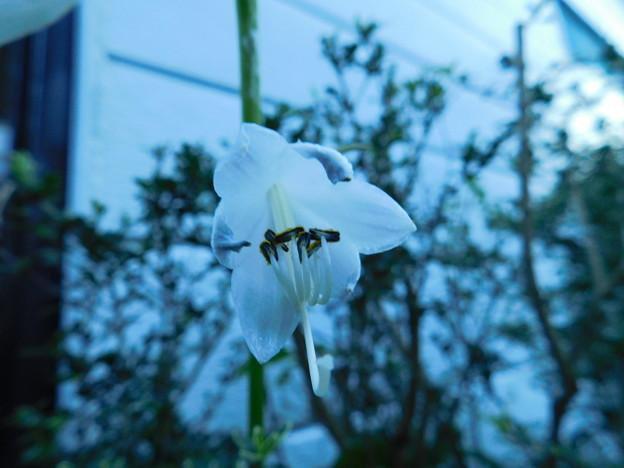 コバギボウシ開花DSCN5389