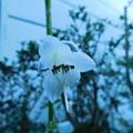 写真: コバギボウシ開花DSCN5389